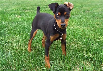 Miniature Pinscher. They are members of the Toy group. They are great rat hunter. They stand at 10-12 1/2 inches at the shoulder and weigh about 8-11 pounds.
