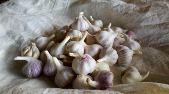 usturoi - garlic 2500 year old recipe to create a cure for many illnesses with garlic  use this cure only 1x for the days  listed once every 5 years