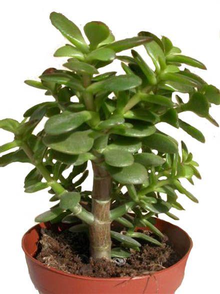 Plantes dépolluantes - Crassula - contre les ondes magnétiques