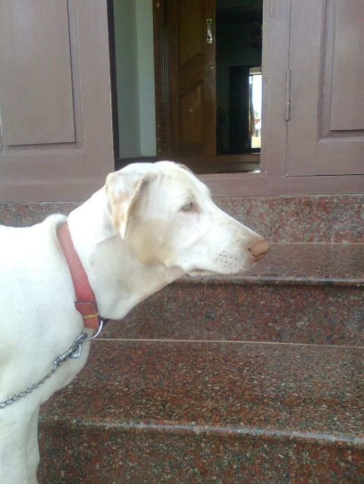 rajapalayam dogs indian breed Let us identify these dog breeds of tamilnadu feel free to put in your  the  rajapalayam is an indian sighthound it was the companion of.