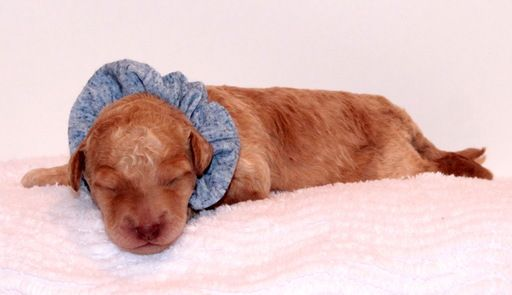Litter of 5 Australian Labradoodle puppies for sale in FRISCO, TX. ADN-27302 on PuppyFinder.com Gender: Male. Age: 1 Week Old