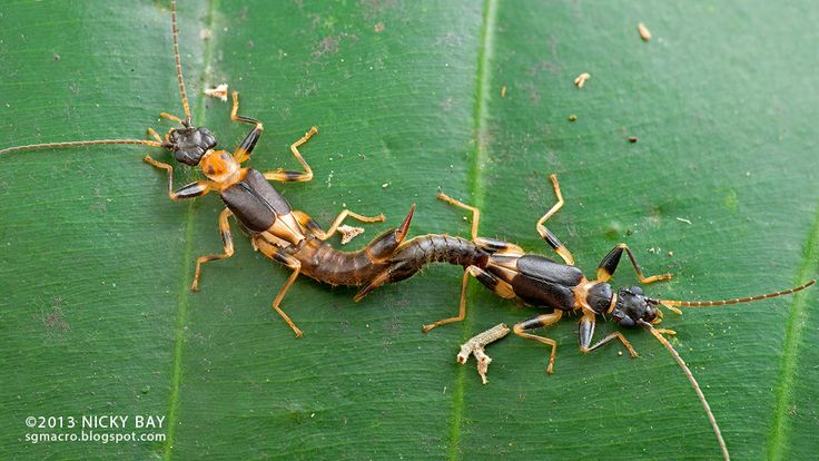 """Earwigs make up the insect order Dermaptera and are found throughout the Americas, Africa, Eurasia, Australia and New Zealand. With about 2,000 species in 12 families, they are one of the smaller insect orders. Earwigs have characteristic cerci, a pair of forceps-like pincers on their abdomen, and membranous wings folded underneath short forewings, hence the scientific order name, """"skin wings."""" Some groups are tiny parasites on mammals and lack the typical pincers. Earwigs rarely use their…"""