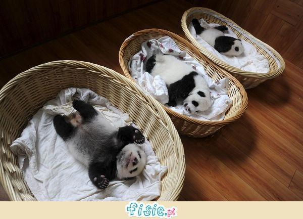 Małe pandy