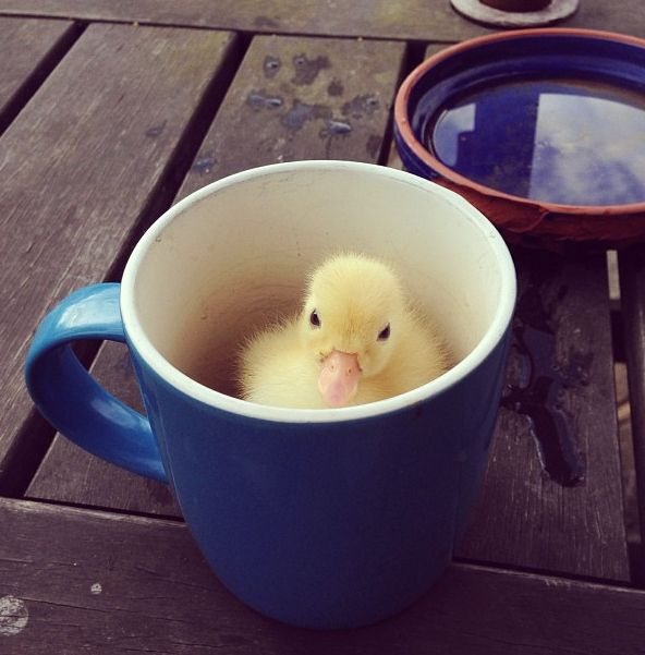 Cute overload with this #duckling in a mug! Click to see more adorable #punkins! http://www.buzzfeed.com/mjs538/dont-be-sad-look-at-these-baby-ducks#1ki26sa