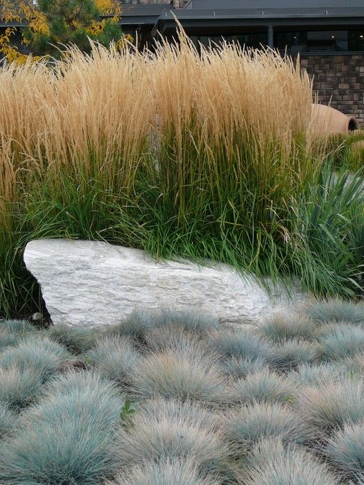 """Elijah Blue Fescue (Front) 12"""". Needs dividing every few years. Calamagrostis (Behind) 60"""","""