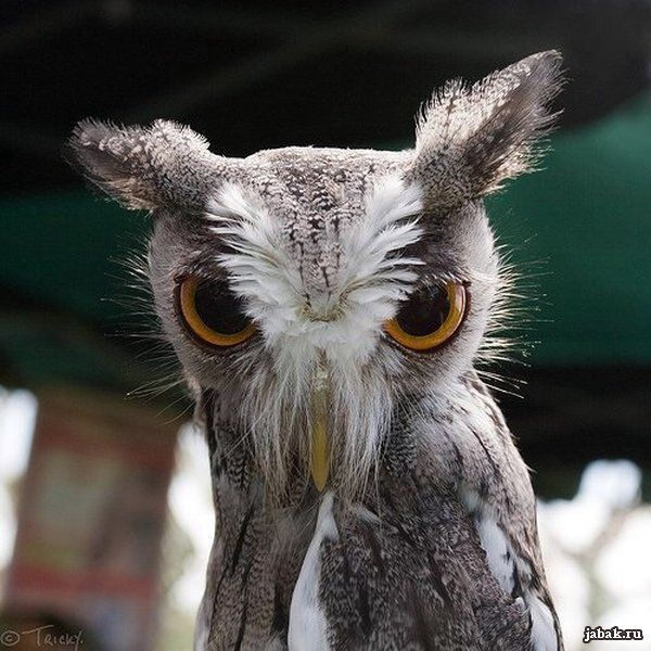 such a cute owl...such an angry owl...kind of like me in the morning :)