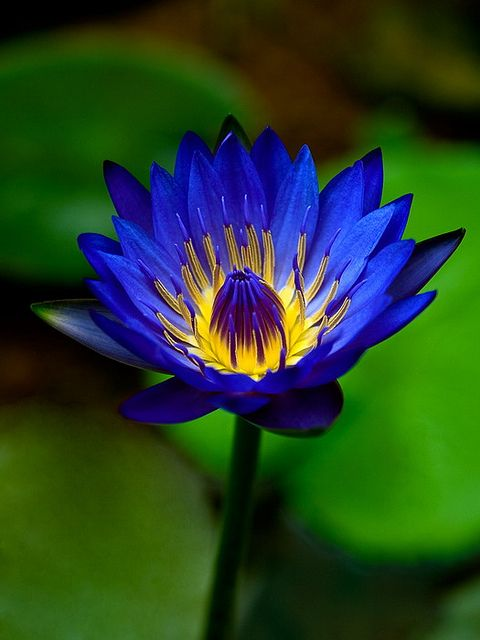 Water Lily #flowers #blue