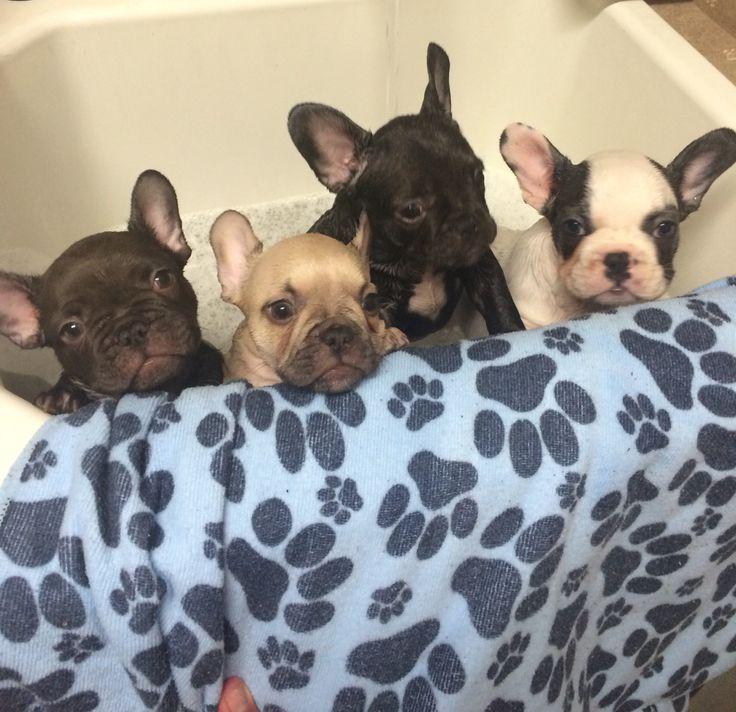 Baby frenchie bathtime french bulldog puppies bulldog