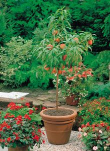 Grow Cherry Trees in Pots: The best fruit trees for pots are dwarf varieties that produce full-sized fruit. Description from pinterest.com. I searched for this on bing.com/images