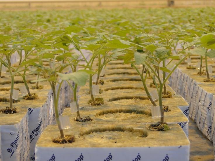 Jonge tomatenplanten van Combinations  The beginning of something special
