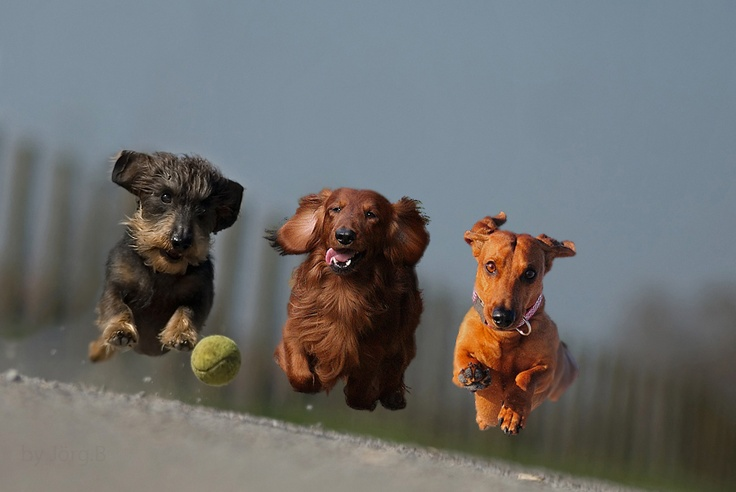 RUN~love this awesome shot~  Wire, Long and Smooth coat Doxies~