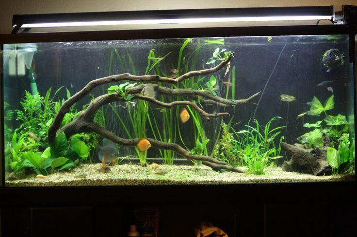 75 Gallon Planted tank driftwood   Thread: 75 Gallon Discus Tank Remodel