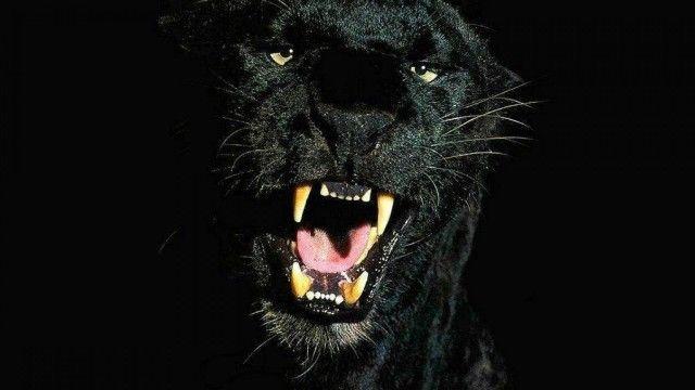 40 Amazing Hd Black Wallpapersbackgrounds For Free Download Cheetah Wallpaper Black Jaguar Leopard Pictures Black panther wallpaper cave download