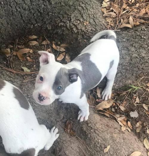 Pikilet is an adoptable Pit Bull Terrier searching for a forever family near Houston, TX. Use Petfinder to find adoptable pets in your area.