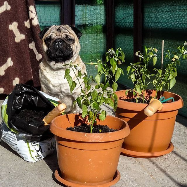 Since I'm on sick leave to treat my eye I started a secret project  growing hot peppers on my balcony  My plan is to trade them for kibble   #mauricethepug #gardening #hotpeppers #redhotpeppers #redhotchilipepers #trade #secretproject #agriculture #sickleave #pug #mops #dog #puppy