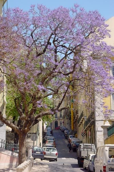 Lisbon street and jacaranda trees in blossom  [Photographer: Boris Kester #Portugal |