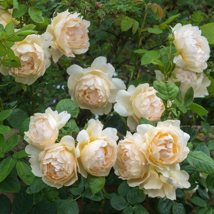 Wollerton Old Hall - Fragrant - Climber - David Austin Roses