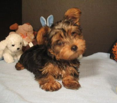 Yorkshire Terriers Temperaments - Understanding Yorkshire Terriers Temperaments and How to best take care of Yorkshire Terriers@Lisa O'Brien