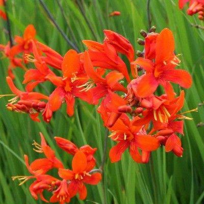 fleurs oranges vivaces
