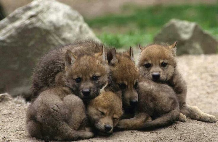 Pile of cute wolf pups