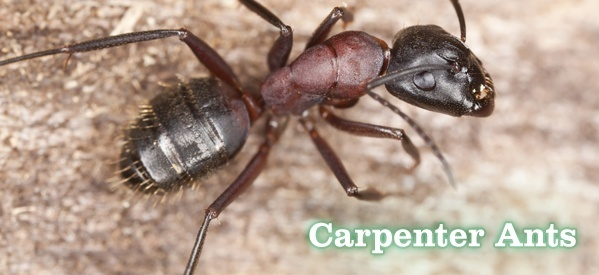 Deal with carpenter ants in as natural way as possible. An invasion of carpenter ants is serious as they can damage your house structure. Be alert for their invasion  piles of broken wings can be one sign and it is longer than most ants. You may also see their fecal pellets (these appear like sawdust) and they can sometimes be heard rustling in the walls. Some ways to deal with them include:  Bait them. They like sugar, so you can turn this against them; use the boric acid method... cont
