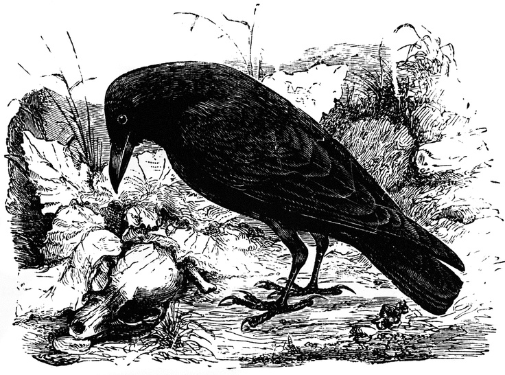 carrion crow of europe - Halloween Crows