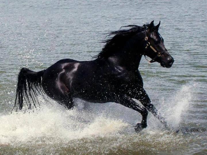 ما تفسير حلم الحصان الأسود لابن سيرين موقع مصري In 2021 Horses Black Horses Black Horse
