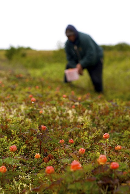 "Tundra ""salmonberry"" (cloudberry) picking      Albert Westlock, Emmonak, with a full bucket of berries at berry camp near Black river, Yukon River Delta  http://www.alaskanativearts.org/social-media"