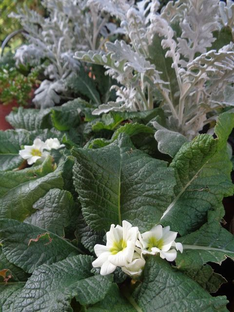 Fioriture fuori stagione: Primula poliantha in estate e autunno https://lefotodiluisella.blogspot.it/2017/09/fioriture-fuori-stagione.html