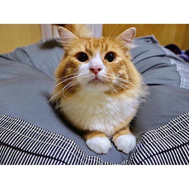 * * サムちゃ〜〜ん🐈💗 * * #サム #猫 #ノルウェージャンフォレストキャット #愛猫 #男の子 #ウェジー #カメラ女子 #ミラーレス一眼 #ハム #tbt #throwbackthursday #sam #cat #boy #family #norwegianforestcat #weegie #canon #eosm3 #ily #like4like #tflers #instalike #catstagram #instagram