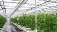 Месторасположение теплицыТеплицы обязательно оборудованы отоплением и используются преимущественно круглогодично (или только в холодное время года) - это сооружение, предназначенное для выращивания овощей, ягод, небольших деревьев, декоративных растений, цветов. Выращивают как местные растения, так и те продукты сельского хозяйства, которые обычно растут на 600 - 1000 километров южнее.