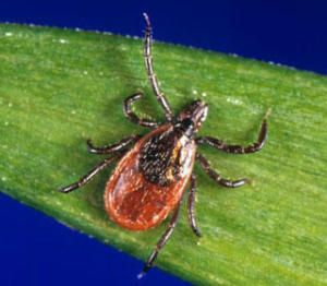 lymphadenopathy in lyme disease: lyme bacteria hides in the lymphs causing swollen painful lymph nodes.