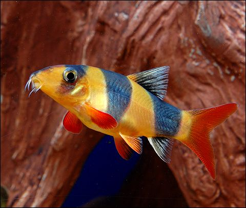 17 best images about aquarium fish on pinterest south for Freshwater clown fish