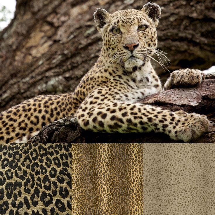 "EXPEDITION Collection ~ We offer an array of Leopard Prints in our  Expedition Collection. A velvet milled in France, a linen milled in the United Kingdom, and a cotton milled in the US. We offer them as selections for custom upholstery, decorative pillows, bed linens, drapery, or table linens. ""The alternating dark and light patches on the coat of a leopard help to break up the outline of its body, allowing it to camouflage itself better in the grasslands or forest and hunt more…"