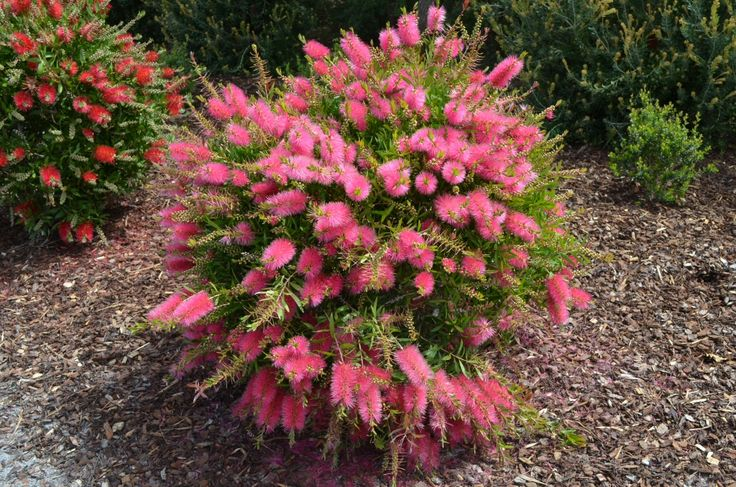 callistemon_bottlebrush_perth-pink-2.jpg (1024×678)