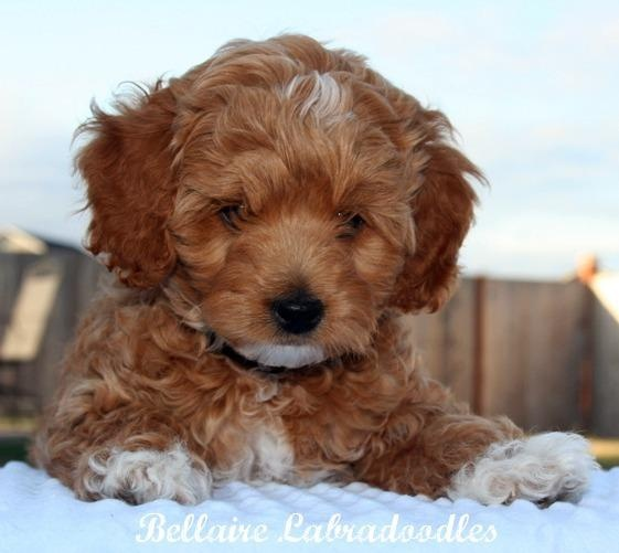 Beautiful Labradoodle Anime Adorable Dog - 72e2f86839c07ec901b59169c922ef5e--labradoodle-puppies-australian-labradoodle  Gallery_805242  .jpg