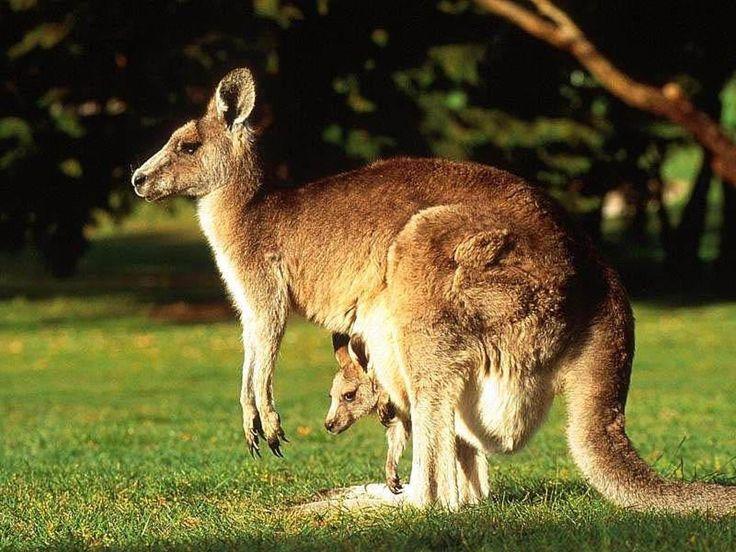 images of kangaroos | Kangaroo High Resolution Wallpapers Free Download