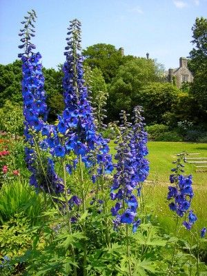 Care Of Delphinium Flowers: Tips For Growing Delphinium Plants