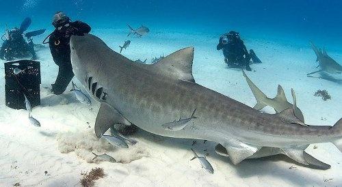 Tiger Shark encounter