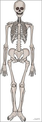 Giant human skeleton picture for display (SB9448) - SparkleBox