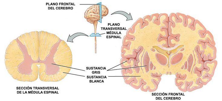 El cerebro está compuesto por neuronas y conexiones organizadas de varios tipos, con largas conexiones que se dividen en materia blanca y la materia gris.