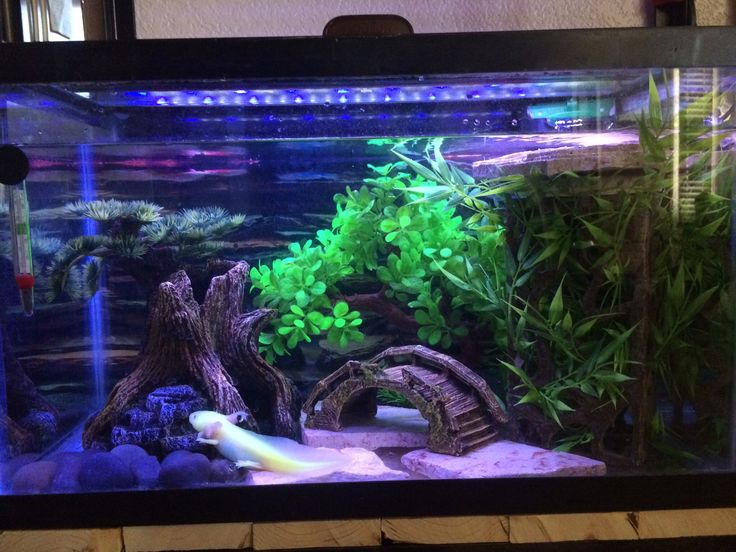 Perfect Axolotl Tank · Aquarium SetupAquarium IdeasAxolotl ... Great Ideas