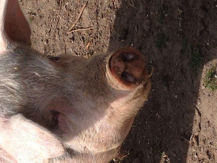 Hello mrs. Pig