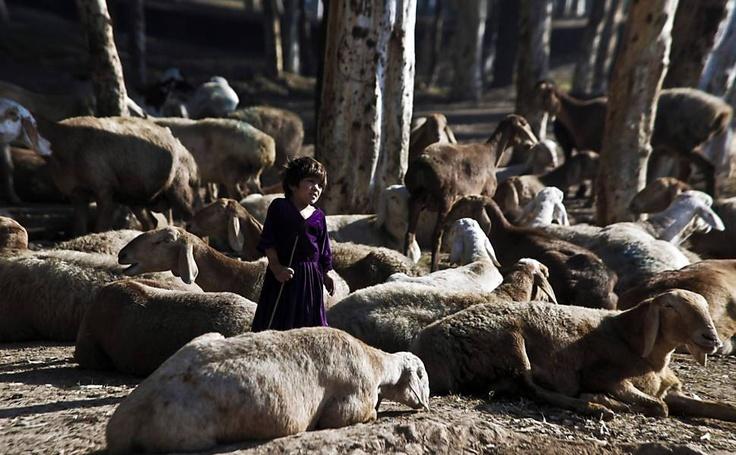 Criança no meio de um rebanho de ovelhas na periferia de Peshawar, no Paquistão
