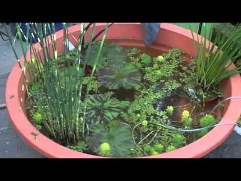 # 736 Small tub pond, and some water plants Carls Aquarium