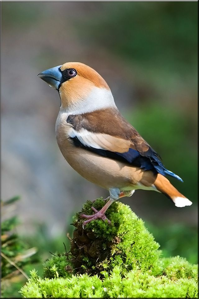 Hawfinch (Coccothraustes coccothraustes) - a passerine bird in the finch family Fringillidae. Its closest living relatives are the evening grosbeak (C. vespertinus) from North America and the hooded grosbeak (C. abeillei) from Central America especially Mexico