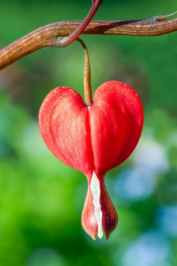 Red Bleeding Heart (Dicentra spectabilis) | Flowers ...