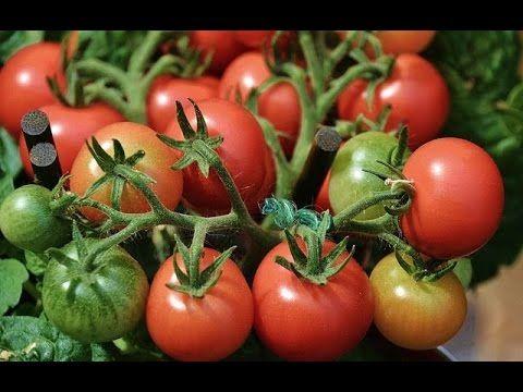 Péče o rajčata v létě