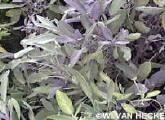 Salie. Groengrijze kleur van de plant met daarbovenop in de zomer nog de mooie paarsblauwe bloemen. Salie is makkelijk te kweken in potten.