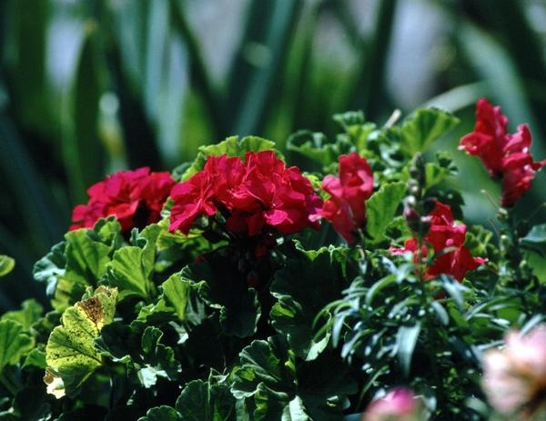 Repelling gnats outdoors: try adding plants known for their gnat-repellent qualities: Geraniums, Lemon Thyme, Lavender, Mexican Marigold.